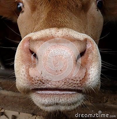 De mond en de neus van koeien