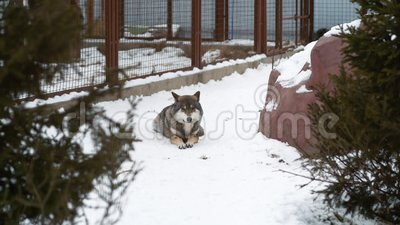 De mooie grijze wolf ligt in de sneeuw bij de dierentuin stock footage