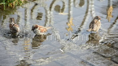 De mussen baden in een vulklei in de hitte vogels stock video