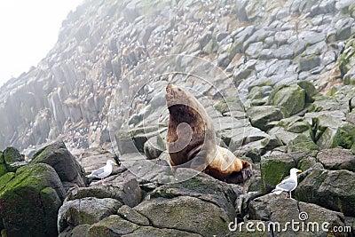 De noordelijke zeeleeuw (zeeleeuw Steller).
