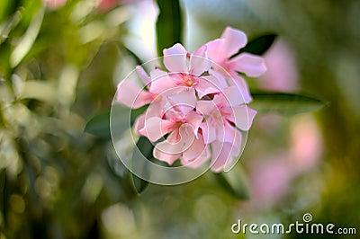 De oleander van Nerium