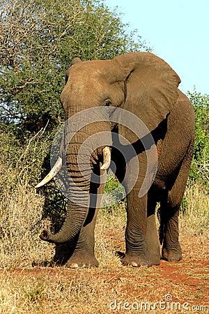 De olifant van Afrika