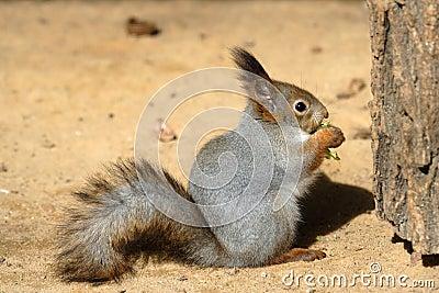 De opname van de eekhoorn.