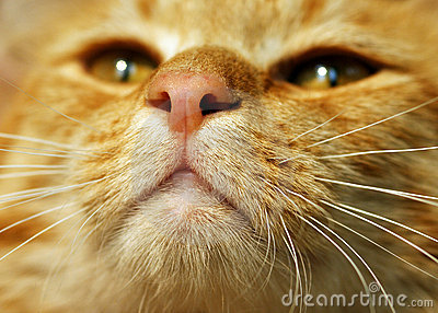 De oranje Kat van de Gestreepte kat