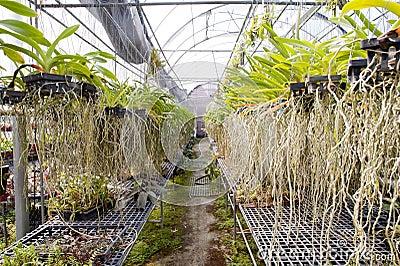 De orchidee luchtwortel