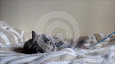 De oude kat Lisa speelt met een boog op een koord stock footage