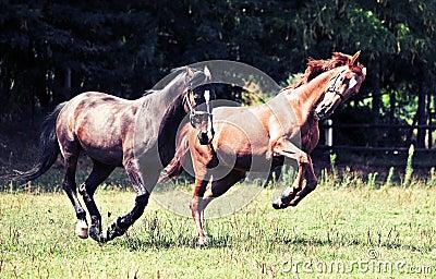 De paarden van de galop