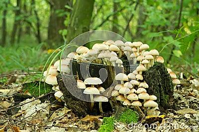 De paddestoel van het Bosje van de zwavel (Hypholoma fasiculare)
