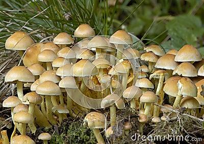 De Paddestoelen van het Bosje van de zwavel