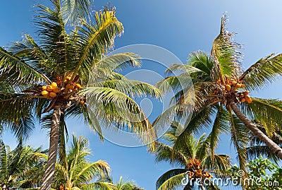 De palmen van de kokosnoot