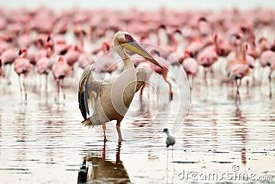 De pelikaan droogt zijn vleugels