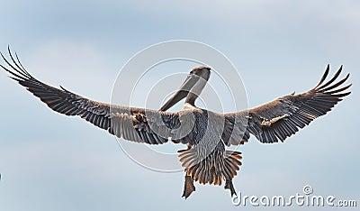 De pelikaan op snuffelt rond