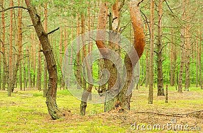 De pijnboom van de grillige vorm