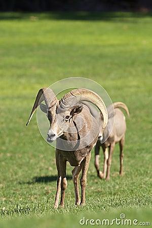 De Rammen van het woestijnbighorn