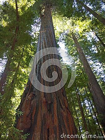 De reuze bomen van de Californische sequoia