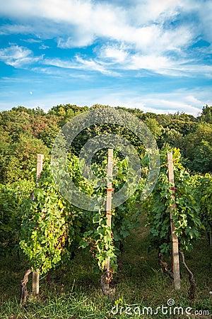 De rijen van de wijngaard