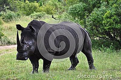 De rinoceros ziet eruit