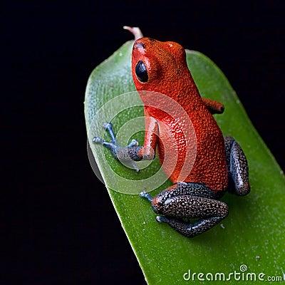De rode kikker van het vergiftpijltje