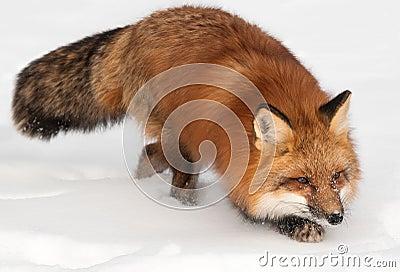 De rode Vos (Vulpes vulpes) snuffelt rond