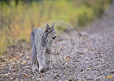De rotsachtige Lynx van de Berg