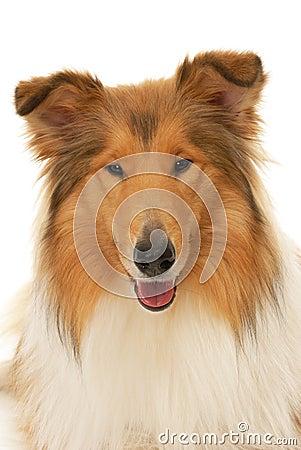 De ruwe hond van de Collie