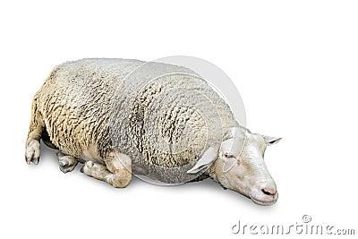 De schapen van de slaap op wit