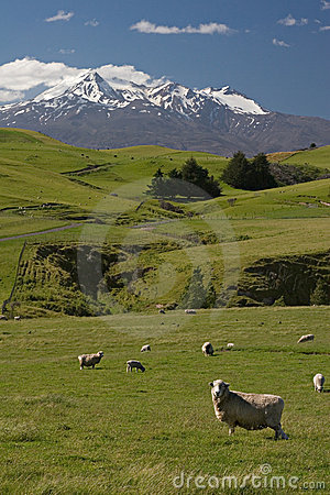De schapenlandbouwbedrijf van Nieuw Zeeland