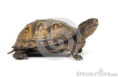 De schildpad van de doos op een witte achtergrond