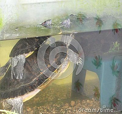 De schildpadden van de liefde