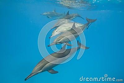 De scholende wilde dolfijnen van de Spinner.