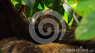 De slaap bruin-throated luiaard stock videobeelden