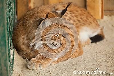 De slaap van Bobcat