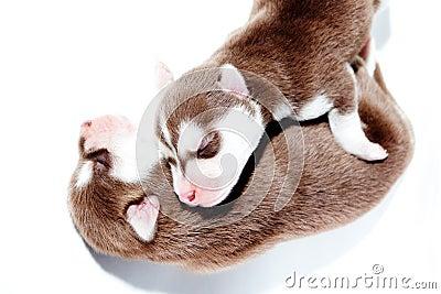 De slaap van het puppy.