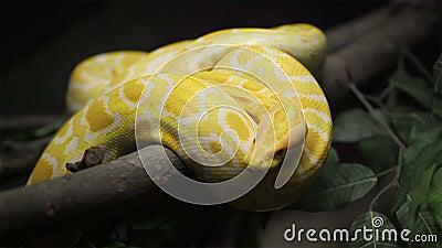 De slang, Gouden Thaise Python glijdt op de boom voort stock footage