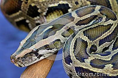 De Slang van de python