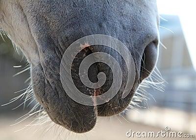 De snuit van het paard in profiel.