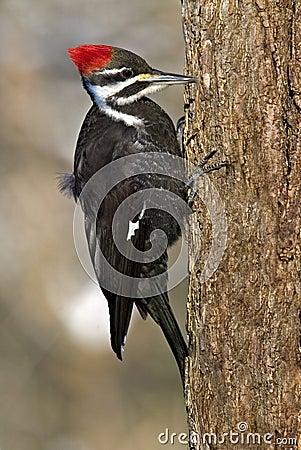 De Specht van Pileated (pileatus Dryocopus)