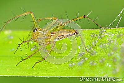 De spin en de babys van de lynx