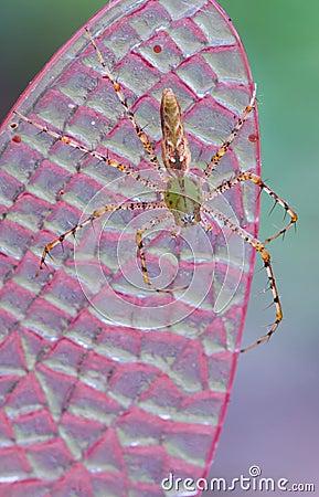 De spin van de lynx