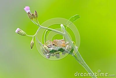 De spin van de lynx met bloem
