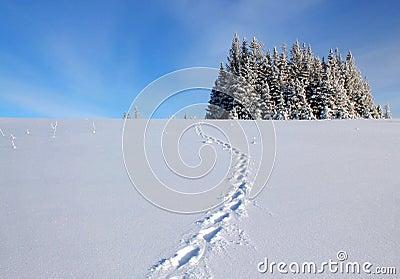 De sporen van de lynx in de sneeuw
