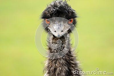 De Starende blik van een Struisvogel