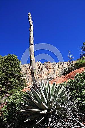 De steel van de agave