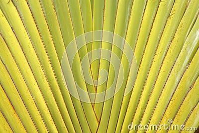 De steel van het blad van de Palm van de Reiziger