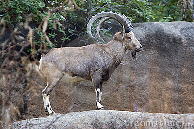 De Steenbok van Nubian