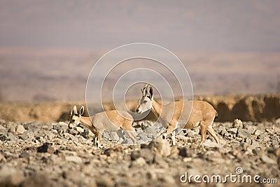 De Steenbok van Nubian met baby