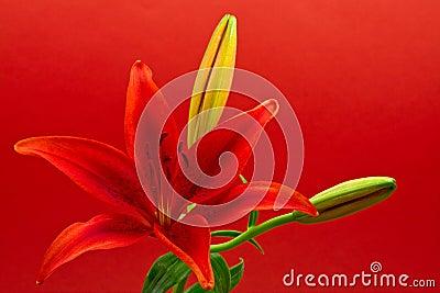 De sterlelie van de ochtend (liliumconcolor)