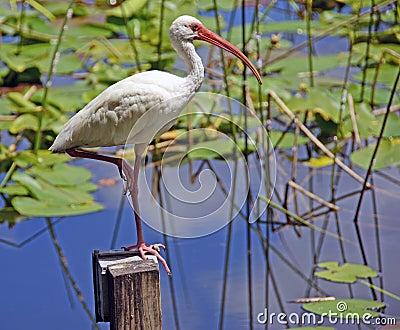 De Stootkussens van de ibis en van de Lelie