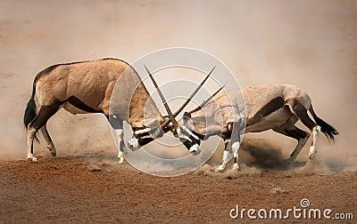 De strijd van Gemsbok
