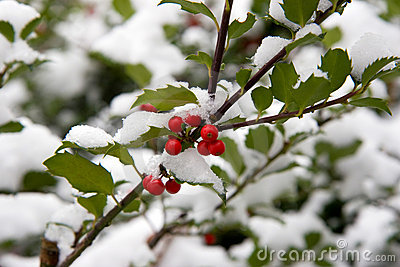 De struik van de hulst met sneeuw stock foto afbeelding 3766100 - Riet voor struik ...